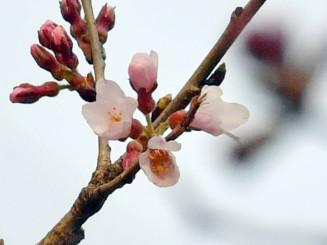 かれんな花びらを咲かせた石割桜=8日午後2時38分、盛岡地裁前