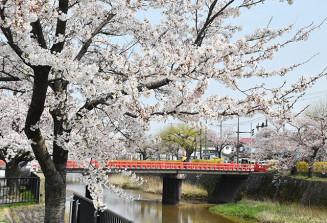 朱塗りの三雪橋とともに城下町を華やかに彩っている内川沿いの桜並木=鶴岡市馬場町(8日撮影)