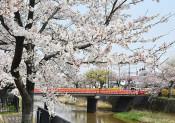 歴史ある城下町彩る、内川沿いの桜並木 山形・鶴岡市