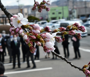 北上市で開花したソメイヨシノ。約1週間後には見頃になる