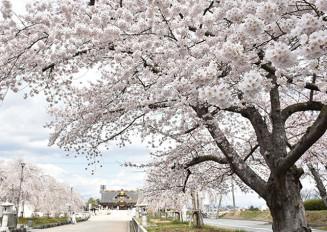 ソメイヨシノとシダレザクラが参道沿いに並木を作っている=山形市・県護国神社