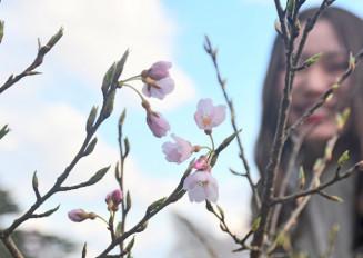 2012年に植樹され、今春初めて開花した宇宙桜