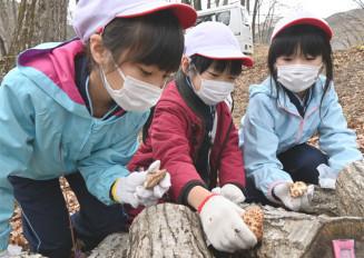 自ら植菌したシイタケを収穫する新里小の児童