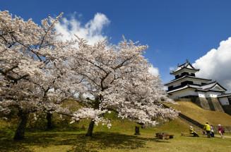 見頃を迎えた小峰城・城山公園のソメイヨシノ(10日撮影)