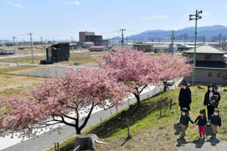被災地に春本番を告げる津波到達点のカワヅザクラ=陸前高田市高田町