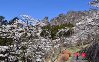 見頃を迎えた妙義山麓のサクラ(11日撮影)