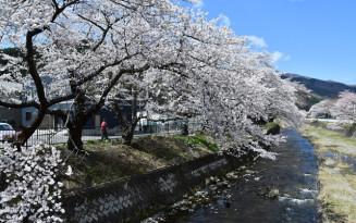 満開を迎えた小川川沿いの桜並木