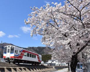 満開を迎えた大船渡市指定の桜の標本木。三陸鉄道の車両が色合いを添える