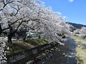 小川川ほとりの桜並木(釜石・小川町と桜木町境)