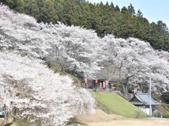 金剛寺の境内を彩る満開の桜