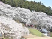 金剛寺の桜(陸前高田・気仙町)