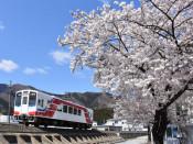 大船渡市指定桜の標本木(大船渡・盛町)