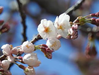 開花を観測した岩手公園の桜の標本木