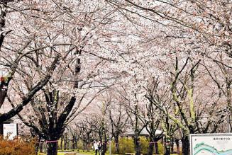 見頃を迎えた長沢川桜づつみ。300本近い桜が宮古市の春を彩る