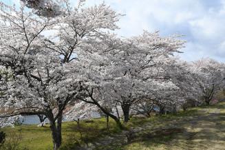 満開を迎えた気仙川沿いの桜並木