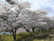 気仙川河川敷の桜並木(陸前高田・横田町)