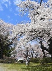 満開を迎えた水沢公園の桜