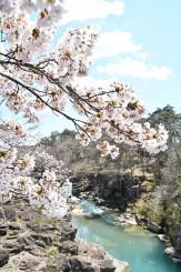 見頃を迎えた厳美渓の桜。磐井川の両岸に桜並木が続く