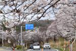 往来の車優しく包む 三崎公園(秋田・にかほ市)