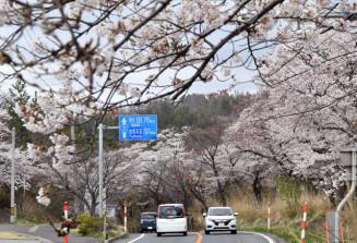 国道7号沿いに咲くソメイヨシノ