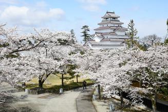 天守閣を彩るように咲き誇る鶴ケ城の桜=14日