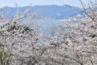 満開を迎えた船越家族旅行村の桜。奥に見えるのは山田湾
