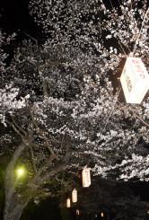 ぼんぼりに照らされたお物見公園の桜