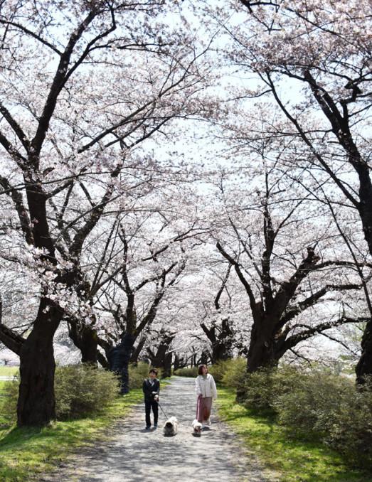 約2キロにわたって続くソメイヨシノの並木