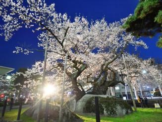 照明を受け、夜空に浮かび上がる満開の石割桜=17日午後6時55分、盛岡市内丸・盛岡地裁前
