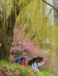 雨で鮮やかさを増したシダレヤナギと桜=18日、盛岡市紺屋町