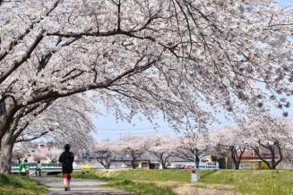 河川敷の歩道を華やかに彩る草生津川沿いのソメイヨシノ(4月17日撮影)