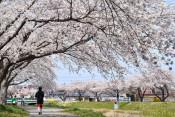 川沿いを彩るソメイヨシノ 草生津川の桜並木(秋田県秋田市)