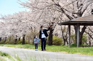 満開の桜が立ち並ぶ北上川沿いの桜つづみ