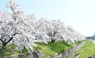 春の陽気で満開となった大沢川沿いの桜並木=村山市駅西(17日撮影)