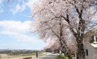 堤防を散策する市民らが松川河川敷に並ぶ桜を楽しんでいる=米沢市