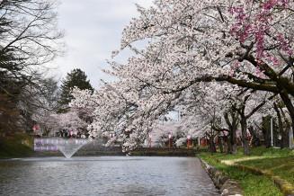 美しく咲き誇る最上公園の桜=新庄市