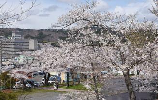 街中を一望しながら桜を楽しめる巽山公園