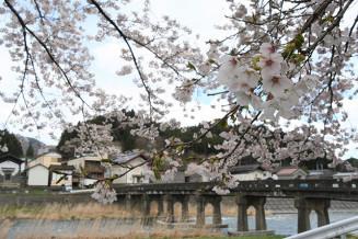 昭和橋と蔵並みの風景を彩る桜