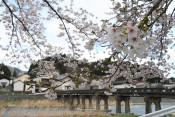 昭和橋たもとの桜(住田・世田米)