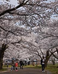 岩手公園の桜並木を散歩する人々