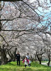 満開を迎えた川原橋付近の桜並木
