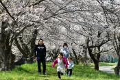 川原橋付近の桜並木(二戸・石切所)