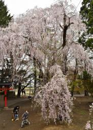 風格が漂うシダレザクラの古木=29日、青森市大星神社