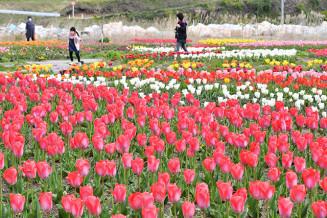 2度の被災から復活し、色鮮やかに咲くチューリップ。奥には台風19号の災害ごみが残る=29日、山田町・船越公園チューリップ園