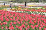 咲いた 復活の花が 山田のチューリップ園
