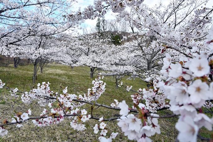 広大な尾根をピンク色に染める新田桜