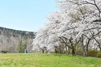 ピンク色の桜が咲き誇る愛宕山公園