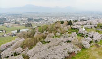 一面に広がる城山公園の桜(マルショウ紫波提供)