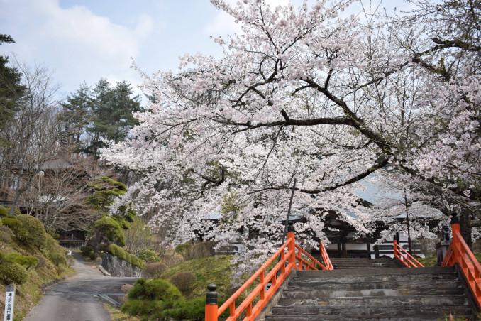 満開の桜が鮮やかな福泉寺の境内