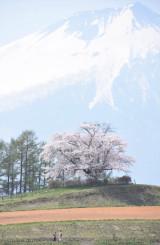 見頃を迎えた八幡平市の為内の一本桜